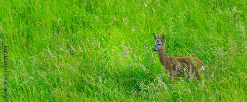 Poster Cerf European roe deer (Capreolus capreolus)