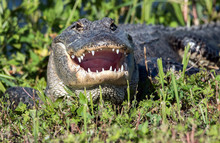 An Alligator With Mouth Open T...