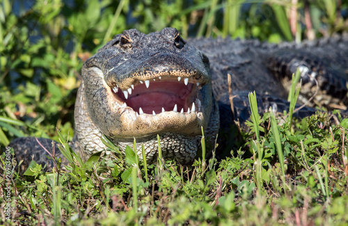 An alligator with mouth open to cool off. Canvas Print