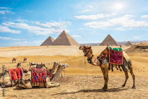 Camels near Pyramids in Cairo