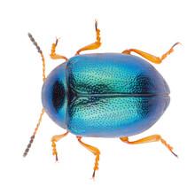 Leaf Beetle Colaphus Sophiae Isolated On White Background, Dorsal View Of Beetle. Close-up Of Colaphus Beetle.
