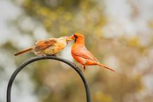 Red Cardinal Bird Courtship