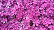 Leinwandbild Motiv Pink Phlox 2