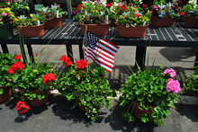 Red Geraniums In A Pot With An American Flag