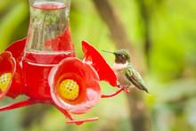 Small Ruby-throated Hummingbir...