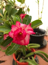 Red Flower Of Adenium Potted I...