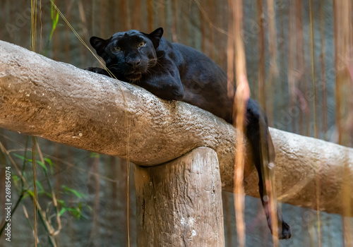 Poster Panther Black panther laying down on a log looking at camera