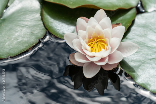 Tuinposter Waterlelies White water lily in the water