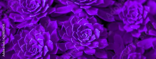 Crédence de cuisine en verre imprimé Cactus Background of succulent. Photo processing in purple style