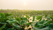 The Lush Lotus Leaves In The Morning.