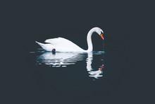 White Swan Drinking, On A Dark Background