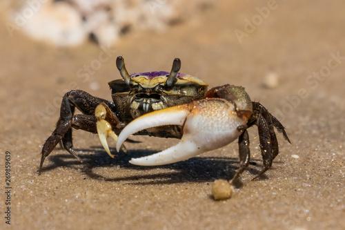 Fiddler Crab Canvas-taulu