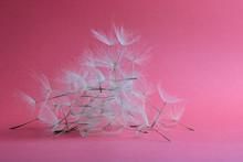 Group Of Dandelion Petals On Pink Background