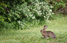 Snowshoe Hare Grazing On Lawn ...