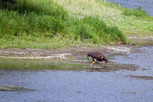 Young Golden Eagle On The Bank...
