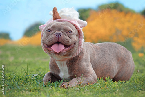 Ingelijste posters Franse bulldog Smiling lilac brindle colored French Bulldog dog with funny pink unicorn hat lying on ground in ront of blurry orange spring flower background