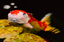 Grumpy Looking Large Koi Carp Fish With Three Bubbles Of Water And Little Pads
