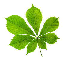 Horse Chestnut Leaf Isolated O...