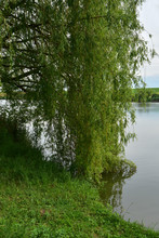 Weeping Willow Tree Beside The Lake