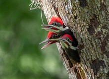 Pileated Woodpecker In Florida