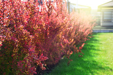 Red Barberry Bushes In A Backy...