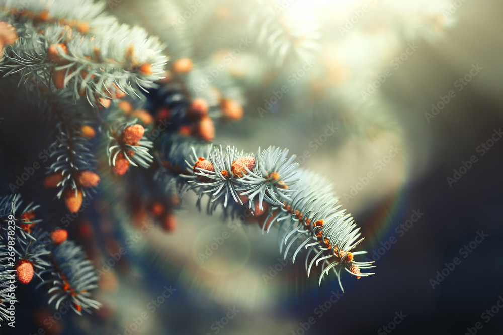 Fototapety, obrazy: The young cones of blue spruce. Springtime background with new spring growth on dove fir. selected focus, close up