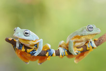Two Frog Not Face To Face