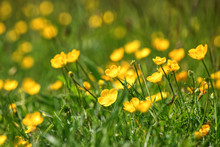 Close Up Of A Field Of Bright Yellow Buttercups