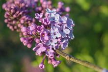 Syringa Vulgaris (common Lilac) Branch, Early Spring, Shallow Depth Of Field
