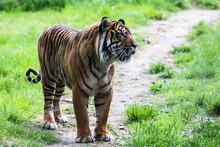 A Sumatran Tiger, Which Origin...