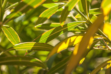 Oleander Leaves In The Sun #12