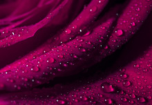 Pink Rose Flower Closeup Background