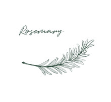 Rosemary Drawing Isolated Kitchen Herb