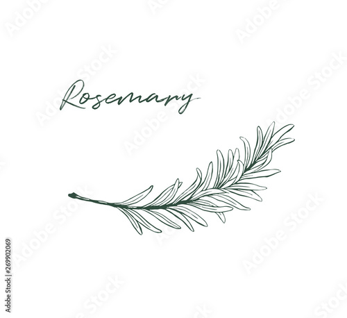 Fotografie, Tablou Rosemary drawing isolated kitchen herb