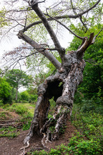 Old Oak Tree In Burnham Beeche...