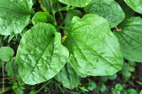 Fototapeta In nature, the plantain is growing