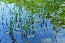 Reeds Waterlilies Lake