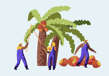 Palm Oil Producing Industry Concept With Workers Collecting Fruits Or Coconuts From Palm Tree, Seasonal Work, Laborers Taking Crop On African Or Asian Plantation, Cartoon Flat Vector Illustration