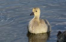 Baby Canada Goose Gosling Or B...