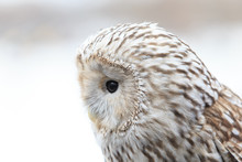 Winter Grey Owl Sits Hunched, ...