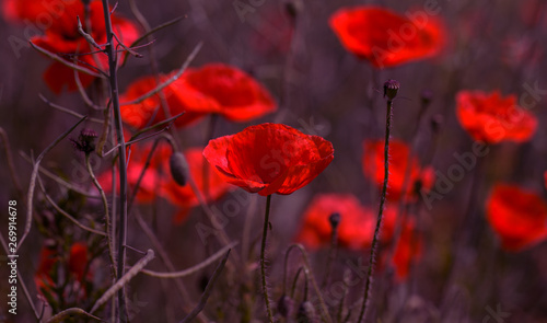 Poster Poppy Flowers Red poppies bloom in the wild field. Beautiful field red poppies with selective focus, soft light. Natural Drugs - Opium Poppy. Glade of red wildflowers