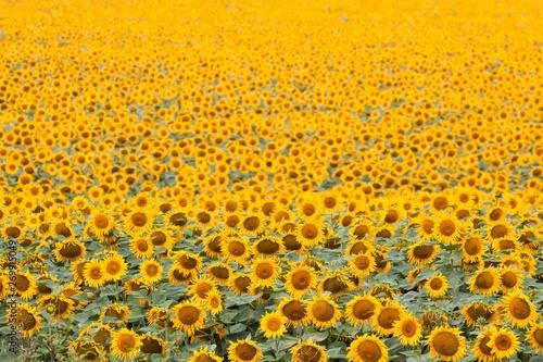 Fototapeta  sunflowers bloom in summer field, cloudy sky, shadowless creative design pattern