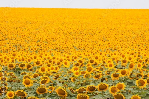 Fotografie, Obraz  sunflowers bloom in summer farm field, cloudy sky, shadowless creative design pa