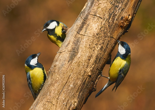 Photo  Three great tits (Parus major) on a branch.
