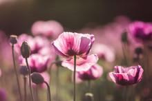 Lilac Poppy Flowers In Sunligh...