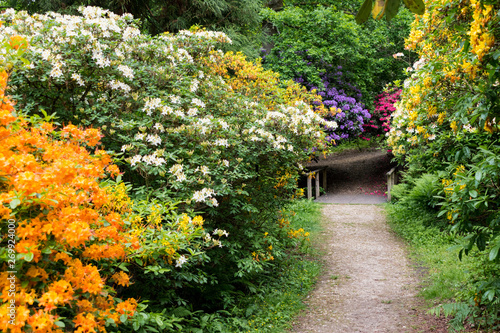 Fototapety, obrazy: Colourful Rhododendrons in the Rhododendron Wood near Leith Hill Place in Surrey, UK line a footpath leading to a bridge in the woodland setting. The flowers are brightly lit with selective focus.