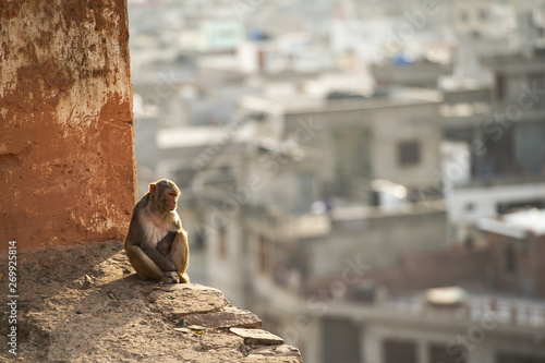Portrait of a young macaque monkey sitting on a wall enjoying the sunset. Jaipur city in the background. Galta Ji, Monkey Temple, Jaipur, Rajasthan, India.