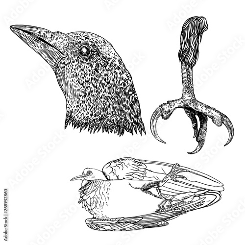 Bird eagle feet, crow or raven head and dead bird drawing