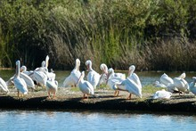 Group Of Pelicans Resting On A Bank