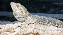 Bearded Dragon Chameleon Lizar...